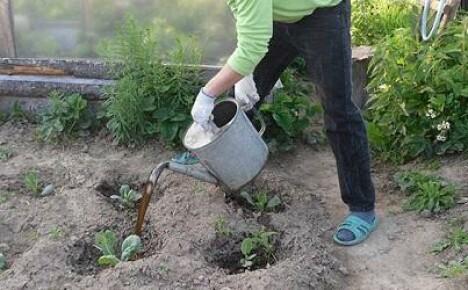 Уход за рассадой капусты после высадки на грядку