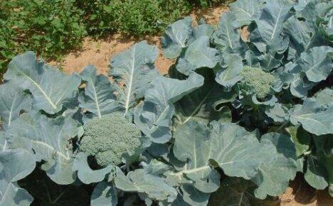 Как вырастить брокколи рассадным и безрассадным способом