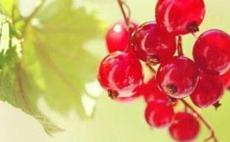 Самые распространенные болезни смородины и способы их лечения