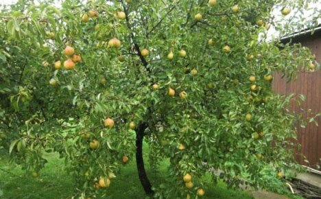 Советы по выращиванию груши Памяти Яковлева с описаниями и фото