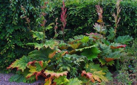 Как вырастить ревень на дачной грядке и получить богатый урожай