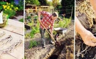 Сажаем овощной аспарагус (спаржу) на огороде