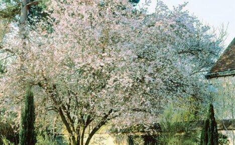 Черешня для Подмосковья – лучшие сорта средней зоны земледелия