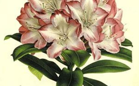 Чарующее цветение и непростой характер азалии