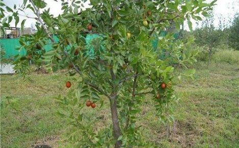 Экзотическая изюминка сада — зизифус мавританский