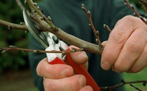 Обрезка черешни – обеспечение урожайности дерева