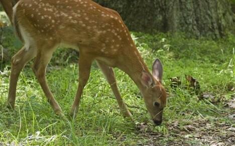 Как защитить свой сад от любопытных оленей
