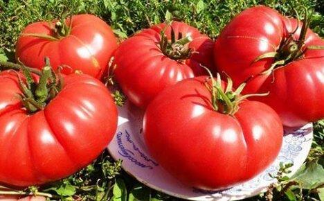 Томат Бычье сердце: выращивание в открытом грунте