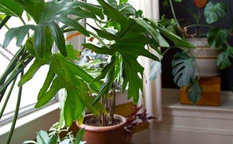 Создаем дома комфортные условия для выращивания филодендрона