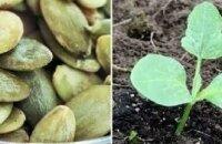 Сроки посадки тыквы на рассаду и в открытый грунт