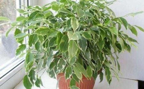 Выращиваем в квартире миниатюрное деревце — фикус Кинки