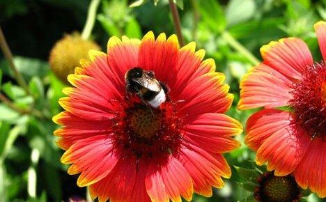 Колоритная гайлардия – шикарное убранство сада