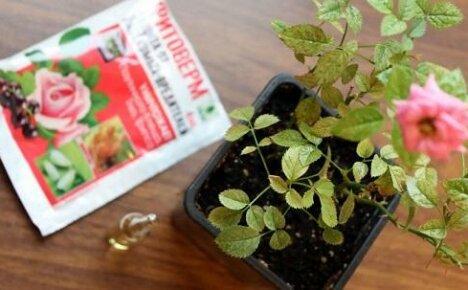 Почему пропадают карликовые розы — болезни и вредители растений