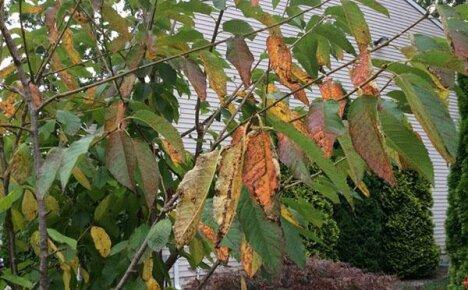 Коккомикоз вишни — угроза вашему саду