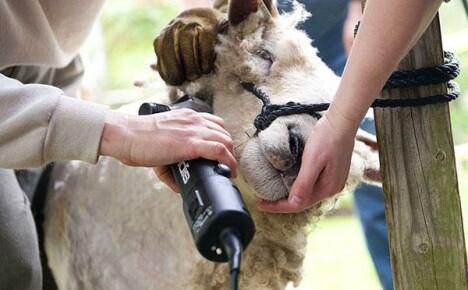 Машинка для стрижки овец: особенности выбора и использования