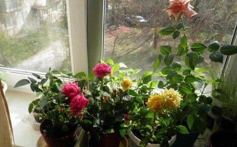 Карликовые розы в горшке: основные правила ухода
