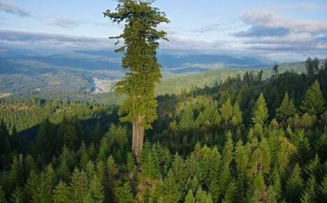 Величественное дерево секвойя покоряет всех своей помпезностью