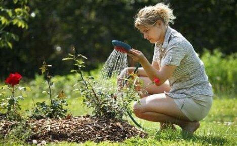 Как правильно поливать розы в жаркую погоду?