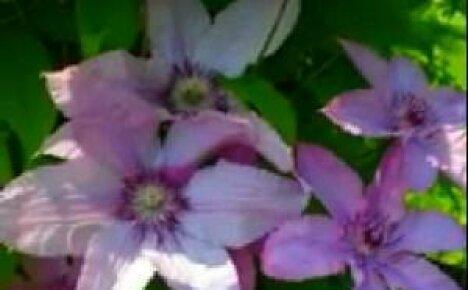 Красивый дачный цветок — клематис (видео)