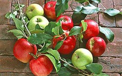 Делаем окулировку яблонь летом