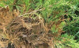 Почему хвойные засыхают — следствие ведут садоводы