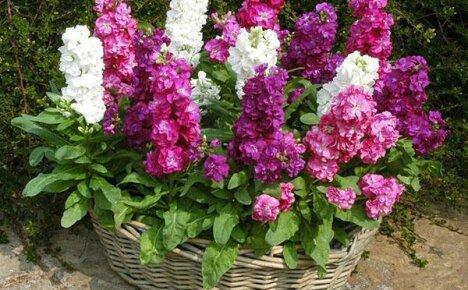 Расширяем свою коллекцию садовых растений, выращивая из семян чудесный левкой