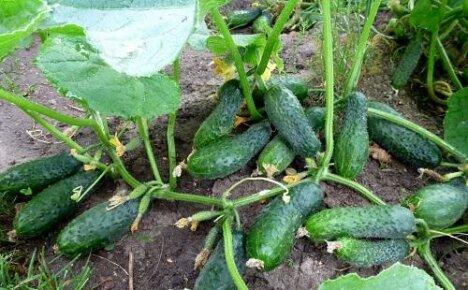Выращиваем огурцы в открытом грунте: популярные урожайные сорта