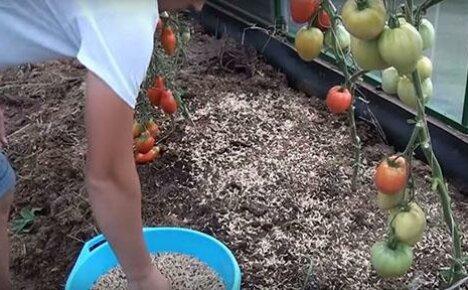 Применение сидератов в тепличных хозяйствах