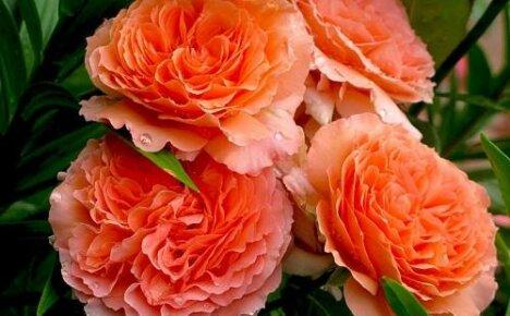 Что собой представляют розы шрабы?