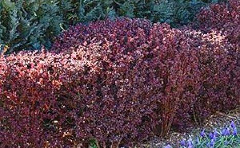 Что может быть прекрасней живой изгороди из барбариса