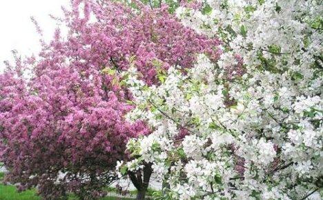 Цветение яблонь: в каком возрасте и в каком месяце наступает