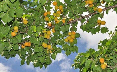 Вырастить абрикос в средней полосе России под силу опытному дачнику