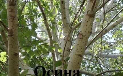 Особенности и ценность дерева осины