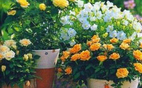Как ухаживать за домашней розой?