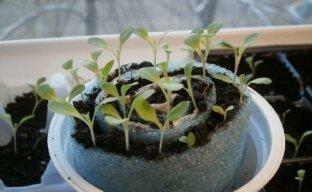 Интересный и практичный метод выращивания петунии без пикировки