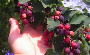 Полезная ягода в вашем саду – ирга