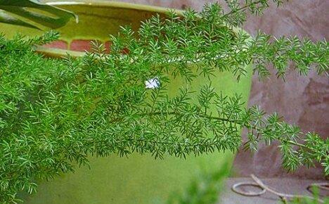 Краткое описание и фото популярных видов аспарагуса для домашнего выращивания
