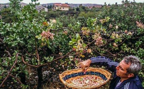 Любитель засухи и зноя — фисташковое дерево