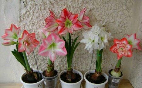 Выращиваем дома амариллис
