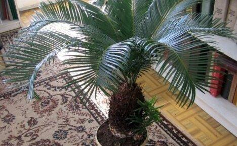 Выращиваем дома саговую пальму цикас