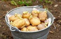 Как сажать картошку: подготовка почвы и клубней, особенности высадки