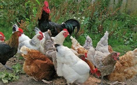Породы кур мясной и яично-мясной направленности