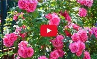 Розы: посадка, обрезка, размножение (видео)