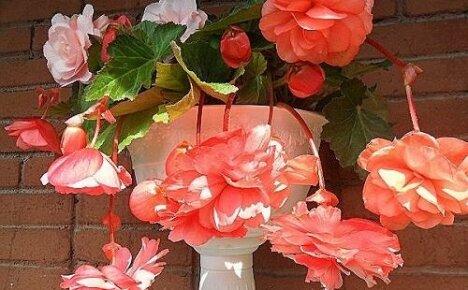 Почему не цветет бегония, а дает только листву?
