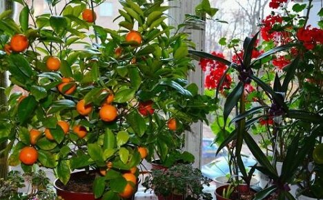 Мандарин — что необходимо знать об уходе за экзотическим растением