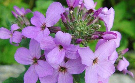 Удивительный цветок из семейства крестоцветных ночная фиалка