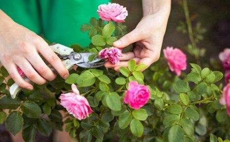 Какой уход нужен розам в саду летом?