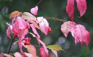 Самый красивый и пестрый осенний кустарник с сюрпризом — бересклет бородавчатый