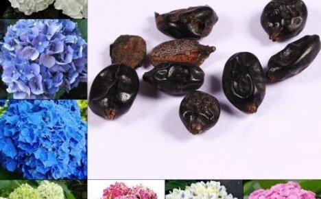 Как вырастить гортензию из семян: посев в открытый грунт и на рассаду