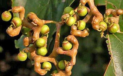 Выращиваем под открытым небом говению — конфетное дерево